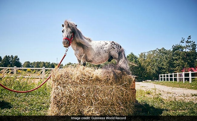 Meet The Smallest Horse In The World. He Has A 'Huge Personality'