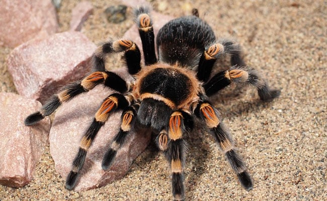 Man Caught Trying To Smuggle Nearly 100 Tarantula Spiders In Luggage