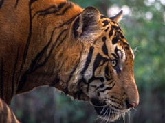 Tigress Found Dead In Madhya Pradesh Forest Reserve
