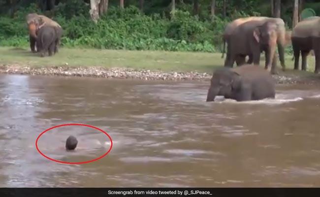 पानी में 'डूब' रहा था शख्स, हाथी के बच्चे ने नदी में कूदकर ऐसे बचाई जान, वायरल हो रहा Video
