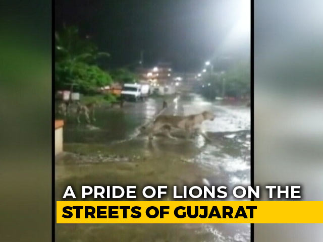 Video : 7 Lions Found Roaming In Gujarat's Junagadh, Video Is Viral