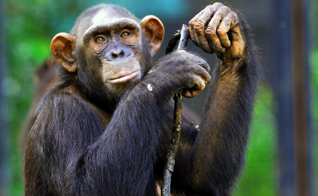 3 Chimpanzees Worth 75 Lakhs