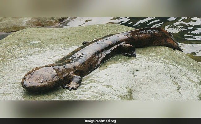 Newly Discovered Giant Salamander Species Is 'World's Biggest Amphibian'