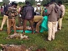 कर्नाटक : मैसूर क्षेत्र के एक गांव में तीन तेंदुओं की रहस्यमय मौत