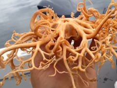 "One Million Views For ""Alien"" Sea Creature Caught Off Coast Of Alaska"