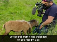 कैमरे को देख गुस्सा गई बकरी, कैमरामैन पर ऐसे किया हमला, देखें VIDEO