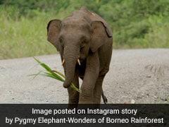 Borneo Pygmy Elephant Shot 70 Times, Tusks Removed