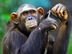 "3 Chimpanzees Worth 75 Lakhs ""Proceeds Of Crime"": Enforcement Directorate"