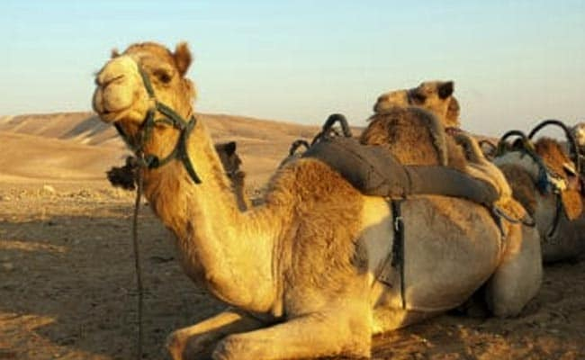 """Camel Sits On Women, She Bites It """"In His Private Area"""" To Get Him Off Her"""