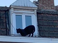 Panther, Rescued After Being Seen On Rooftops In France, Stolen From Zoo