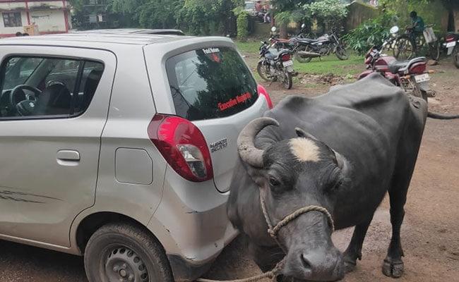 नायब तहसीलदार ने कथित तौर पर मांगी रिश्वत, किसान ने भैंस लाकर उनकी कार से बांध दी!