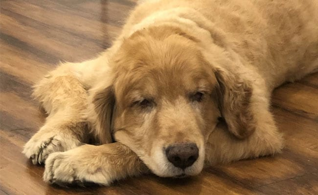 Blog: Life Without Disco - A Family Mourns Its Golden Retriever