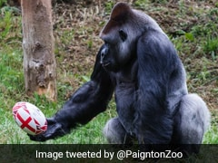 A Gorilla Plays Rugby In This Delightful Video. Watch
