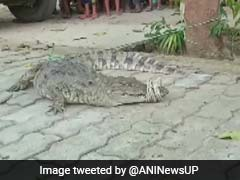 Crocodile Strays Into Residential Area In UP, Rescued A Day Later