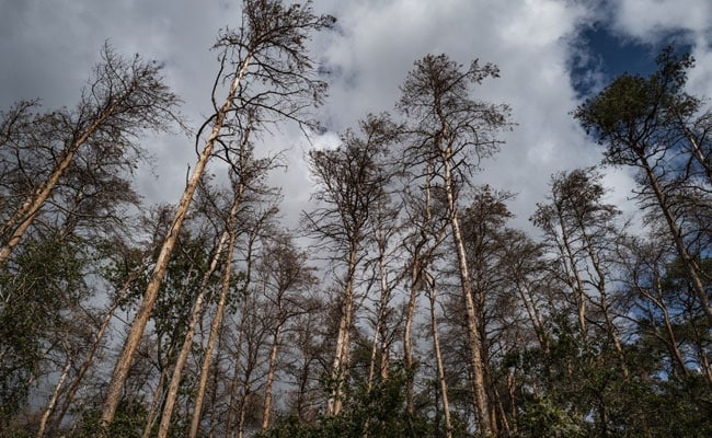 Beetles Turn Germany's Climate-Stressed Forests Into Ecological Graveyard