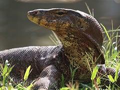 3-Foot Monitor Lizard Causes Panic In Agra Ashram, Rescued