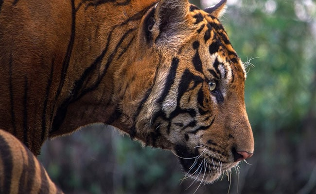 Tiger Found Dead In UP's Dudhwa Tiger Reserve: Police