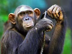 मनी लॉन्ड्रिंग का ये कैसा मामला, ईडी ने जब्त किए तीन चिंपांजी...