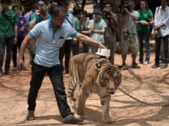 Thai Temple Tigers With Serious Symptoms To Be Operated: Doctors