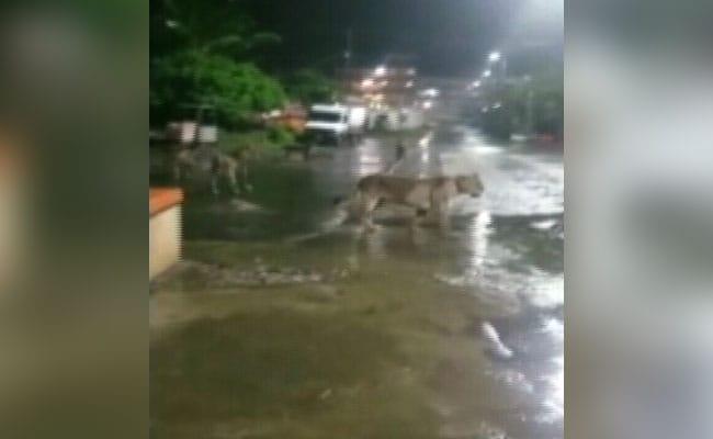बरसात की रात में खाना तलाशते हुये शहर के बीच पहुंच गया 7 शेरों का झुंड, देखें VIDEO