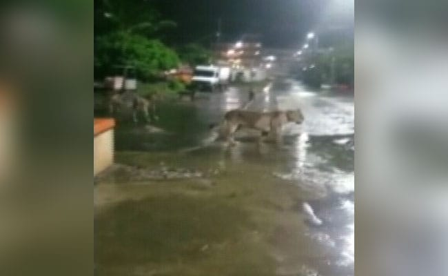 7 Lions Found Roaming In Gujarat's Junagadh, Video Is Viral