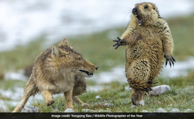 And The Wildlife Photographer Of The Year Award Goes To...