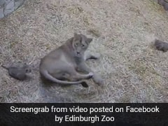 A Teeny Tiny Lion Cub Gives Her Mother A Big Fright In Cutest Video Ever