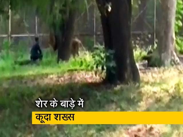 Videos : दिल्ली: चिड़ियाघर के बाड़े में घुसकर सहलाने लगा शेर के बाल