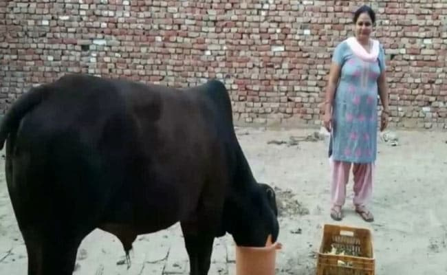 Bull Eats Gold Ornaments Thrown Out With Garbage By Haryana Family