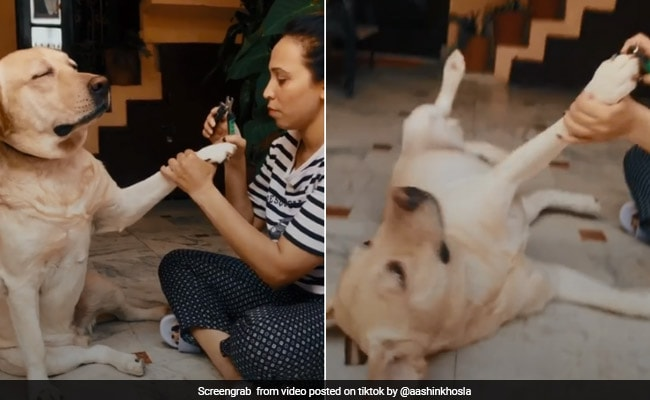 Another Dramatic Dog 'Faints' To Avoid Nail Trimming In Funny TikTok Video