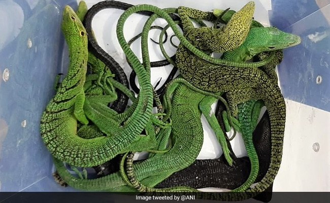 Exotic Pythons, Lizards Seized From Chennai Airport, 2 Detained: Cops