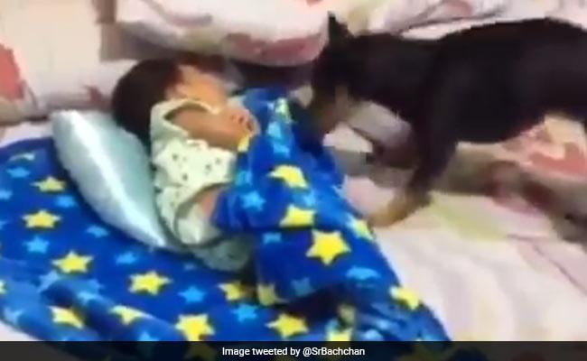 सोते हुए बच्चे को कंबल से ढक रहा था डॉगी, तो अमिताभ बच्चन ने वीडियो शेयर कर कहा- ऐसा कैसे कर सकते हैं...