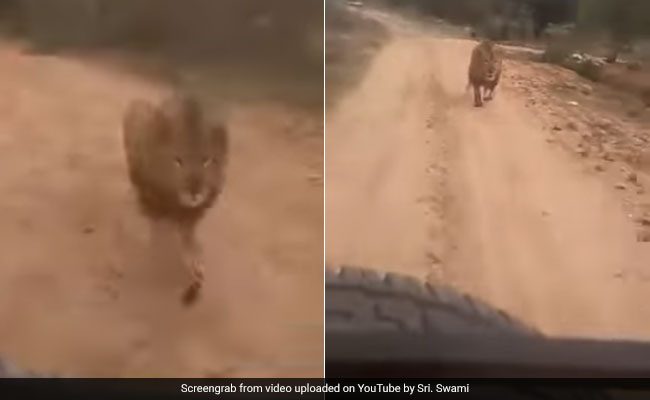 Lion Chases Tourists On Safari In Karnataka. Terrifying Video Is Viral