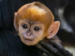 """World's Rarest"" Critically-Endangered Monkey Born In Australia"