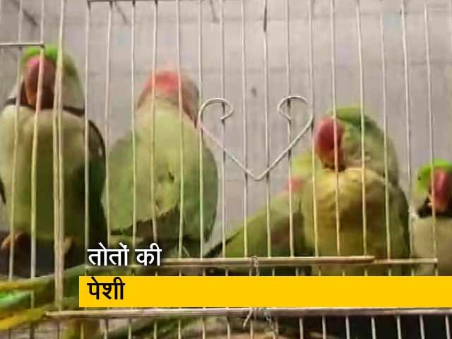Video : जब कोर्ट में पेश किए गए 13 तोते, कोर्ट ने आजाद करने का दिया आदेश