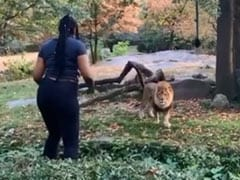 On Camera, Woman Climbs Inside Zoo Exhibit, Taunts Lion. Then...