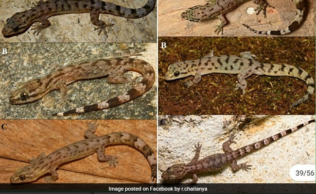 'Biodiversity Hotspot': 6 New Lizard Species Discovered In Western Ghats
