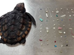 Heartbreaking Pic Shows Dead Baby Turtle Found With 104 Plastic Pieces In Belly