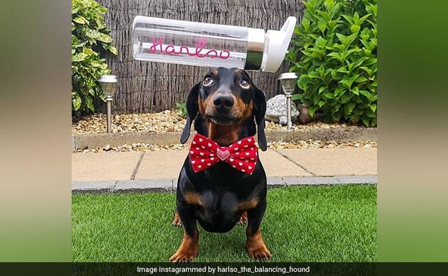 सोशल मीडिया पर स्टार है ये कुत्ता, अपने सिर पर किसी भी चीज को कर सकता है बैलेंस, देखें VIDEO