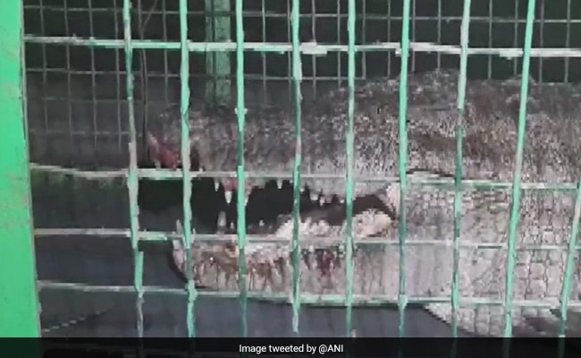 8-Foot-Long Crocodile Rescued From Palace In Gujarat