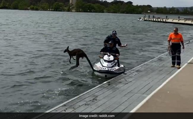 नदी में तैर रहा था कंगारू, पुलिसवालों ने निकाला बाहर तो फिर कूद गया पानी में... देखें VIDEO