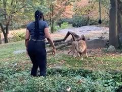 शेर के बाड़े में कूद गई महिला, चिढ़ाया तो हुआ ऐसा... वायरल हुआ ये VIDEO