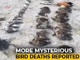 Video : Over 10,000 Birds Found Dead Near Rajasthan Lake In A Week