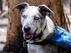 """Meet """"Bear"""", The Dog Rescuing Koalas In Australian Bushfires"""