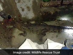 Watch: Woken Up By Noise, Gujarat Man Finds Crocodile In Bathroom