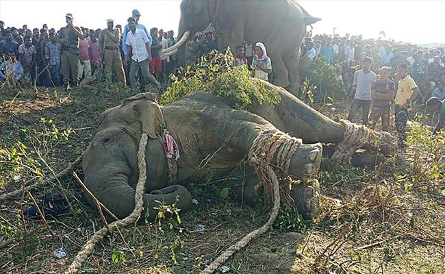 Rogue 'Bin Laden' Elephant That Killed 5 Caught In Assam