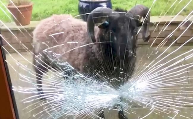 Image result for Video: Angry Ram Smashes Doors While Fighting Its Own Reflection""