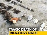 Video : Thousands Of Birds Found Dead At Sambhar Saltwater Lake In Rajasthan