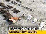 Video : Thousands Of Birds Found Dead At Sambhar Saltwater Lake In Rajasthan