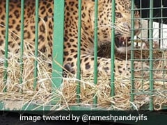 Leopard That Killed Boy, 7, In UP Trapped In Cage That Had Goat As Bait